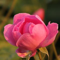 Rose Bulgarian oil